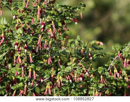 Gummy Gooseberry - Ribes lobbii