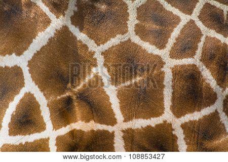 Giraffe Skin Closeup