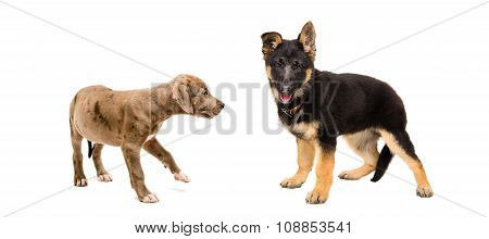 Puppy Pit bull and a German Shepherd standing together