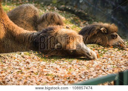 Adult camel eating