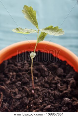 The oak sprout in a flower pot