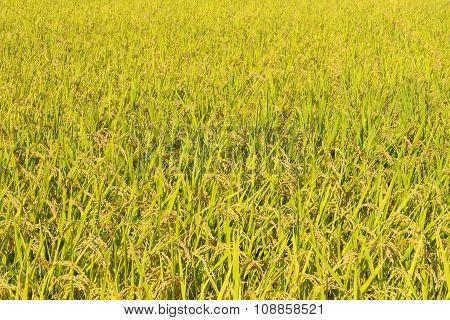 Rice field in autumn