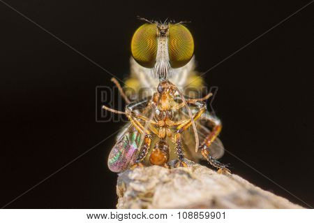 An extreme macro shot of a robber fly (Triorla interrupta) as it eats the insect.