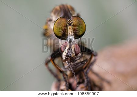 An extreme macro shot of a robber fly it eats the fly