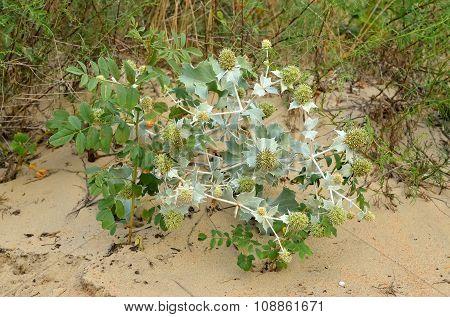 Eryngium Plant