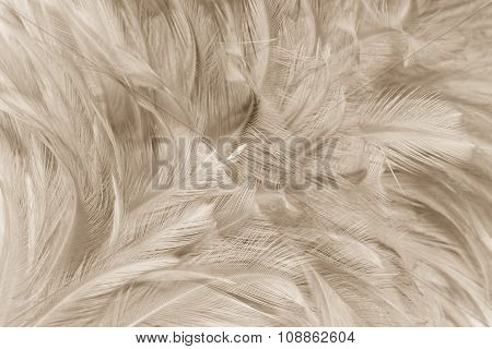 Closeup Soft Feather