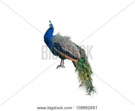 The Big Peacock