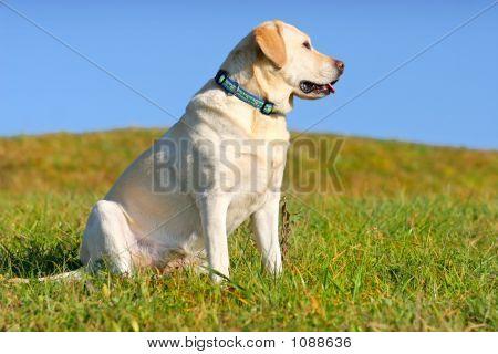 Yellow Labrador Sitting