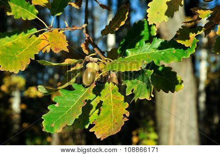 Autumn. Oak Tree, branch.
