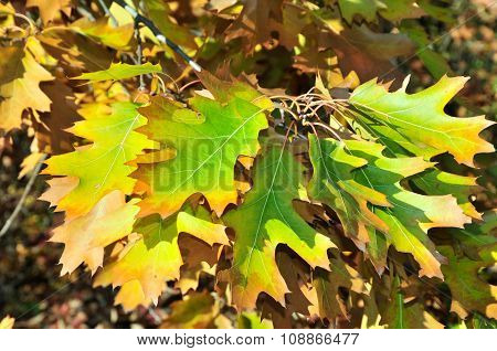 Autumn time in October. Quercus palustris, the pin oak or swamp Spanish oak.