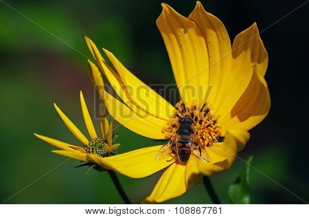 Jerusalem artichoke with hoverfly in the middle of the flower.