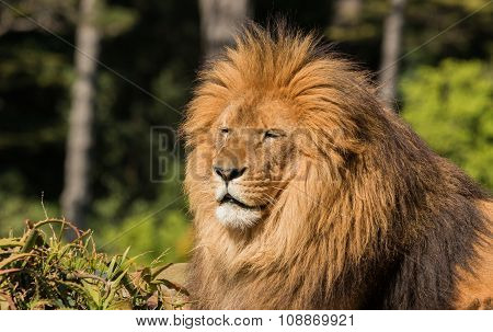 Lion Warmth Of Sun