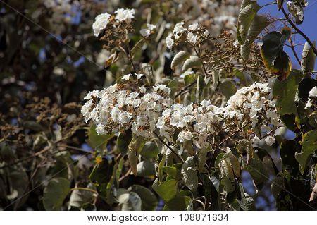 Flowers Of Sudan Teak Wood