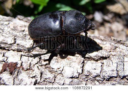 dark insect