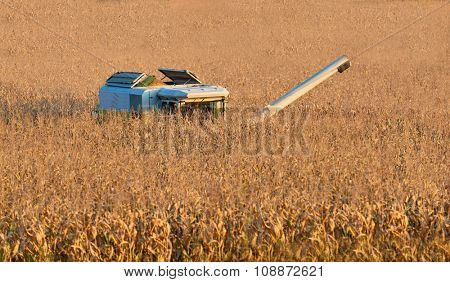 a combine harvester while harvesting corn on a farmer's field
