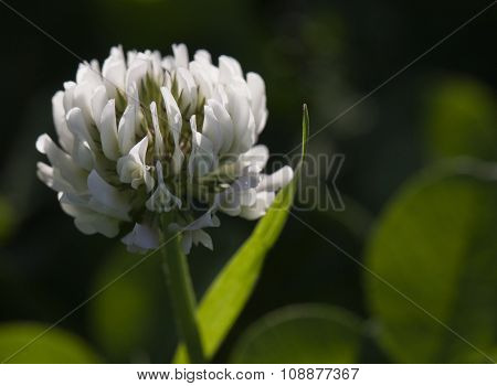 Flower of white clover