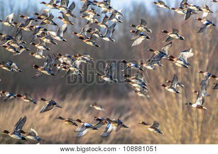 Flying Flock Of Migratory Eurasian Wigeon (anas Penelope)