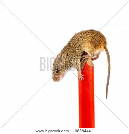 Harvest Mouse On A Pen
