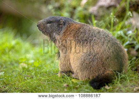 Alpine Marmot Habitat