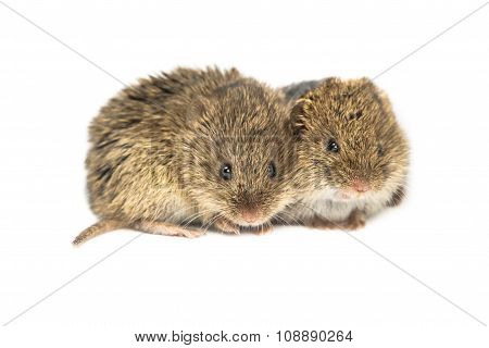 Two Common Vole Mice