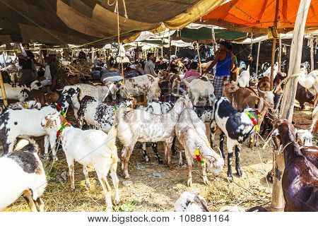Goats For Selling At The Bazaar