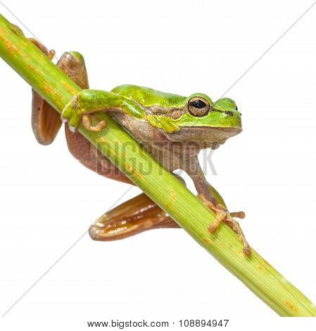 European Tree Frog Diagonal Green Stick