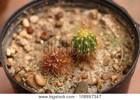 Close Up Small Cactus In A Pot