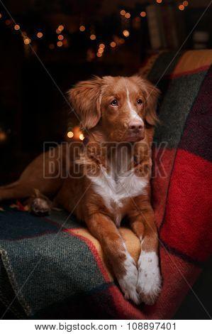 Dog Nova Scotia Duck Tolling Retriever Holiday,