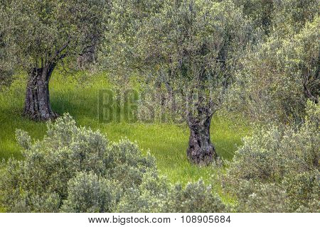 Detail Of An Olive Grove
