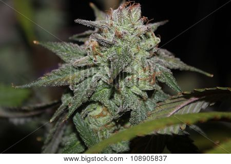 Medical Marijuana Flower Bud