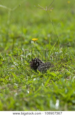Pine cone on green grass and under the sunlight morning