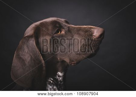 German shepherd dog studio portrait over black background