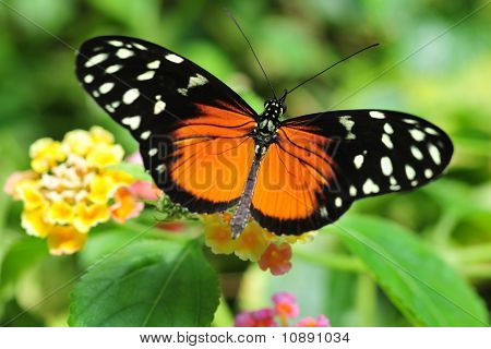 golden helicon butterfly