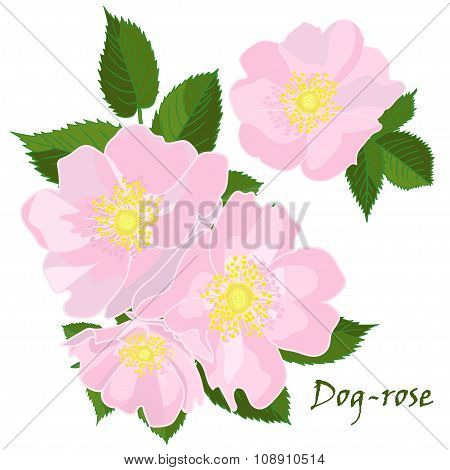 Set Of Flowers Dog-rose With Leafs In Realistic Hand-drawn Style