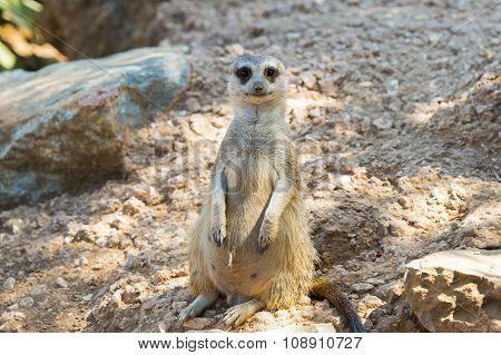 Cute suricata portrait.