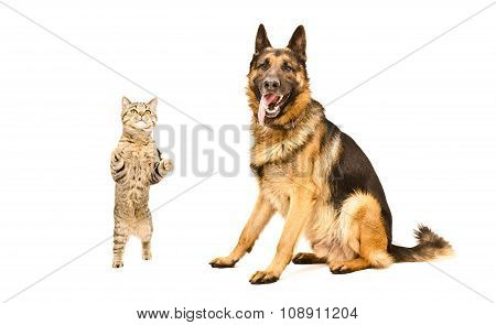 German Shepherd and frisky cat Scottish Straight