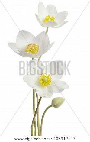 White Anemone Flowers  Isolated On White Background
