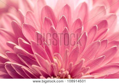 Macro Chrysanthemum Flowers