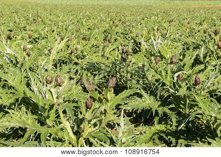 Field Of Artichokes