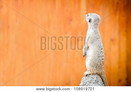 meerkat stand on hill