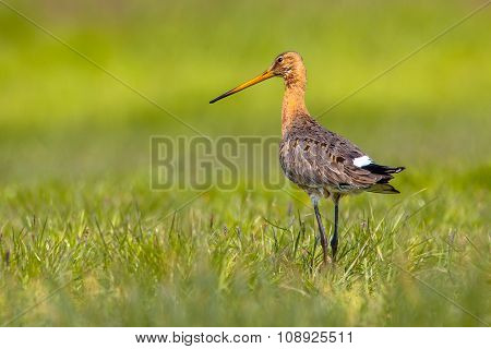 Black Tailed Godwit On Green Grassy Background