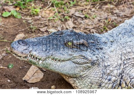 A Crocodile With Open Mouth