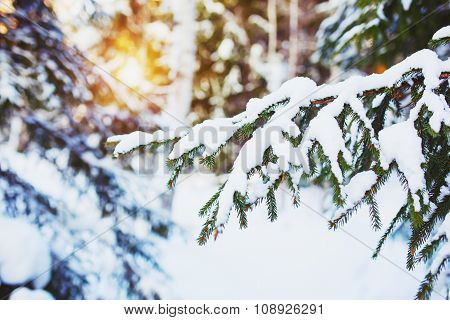 Cold  Winter Day In The Snowy Winter Forest. Spruce Tree Under The Snow, Sunshine Glow.