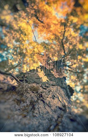Detail of maple tree trunk from below with autumn color branches