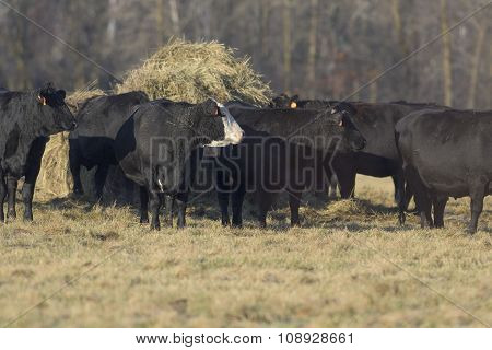 Black Angus Beef Cattle