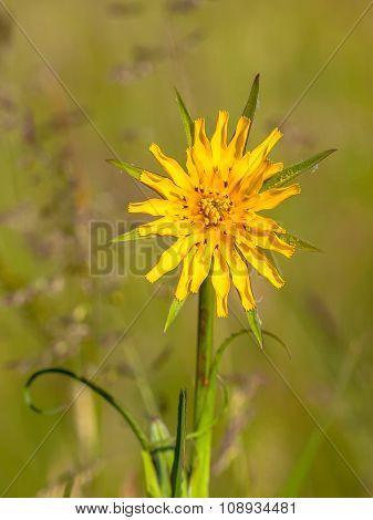 Meadow Salsify