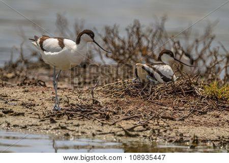 Pair Of Breeding Pied Avocet