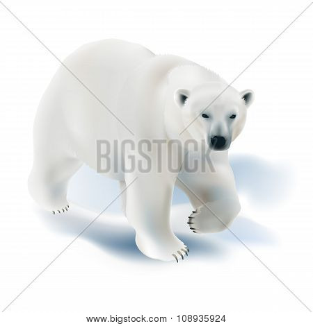 Polar bear - Ursus maritimus.
