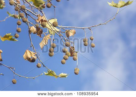 Plane Tree Fruits In Autumn