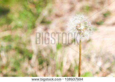 Dandelion, Dandelion Flower In Spring Time,